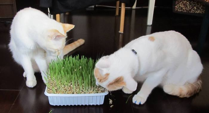 Two cats eating some grass...