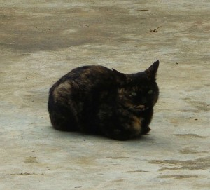 Cat Ba kitty 3 spotted! A very pretty tortoise shell doing her best catloaf.