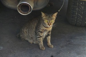 She hid under the car, but not so far under that I couldn't get a picture of this cute tabby mother-to-be!
