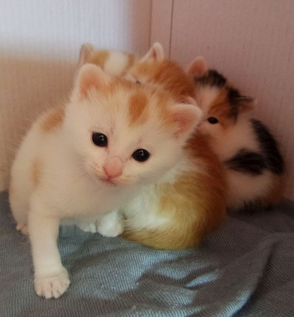 Here's little Ben in the kitten box with her siblings at three weeks old