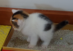 At three and a half weeks old, Sue is the first kitten to do a poopie in the litter.