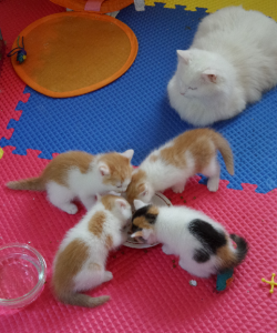 Four-week-old kittens eating kitten kibble out of a saucer while their mom supervises. Don't be fooled: Libby tried her hardest to get at that delicious kitten kibble!