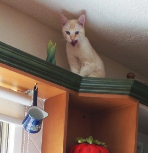 Lance found! He knows he's being naughty on top of the kitchen cabinets.