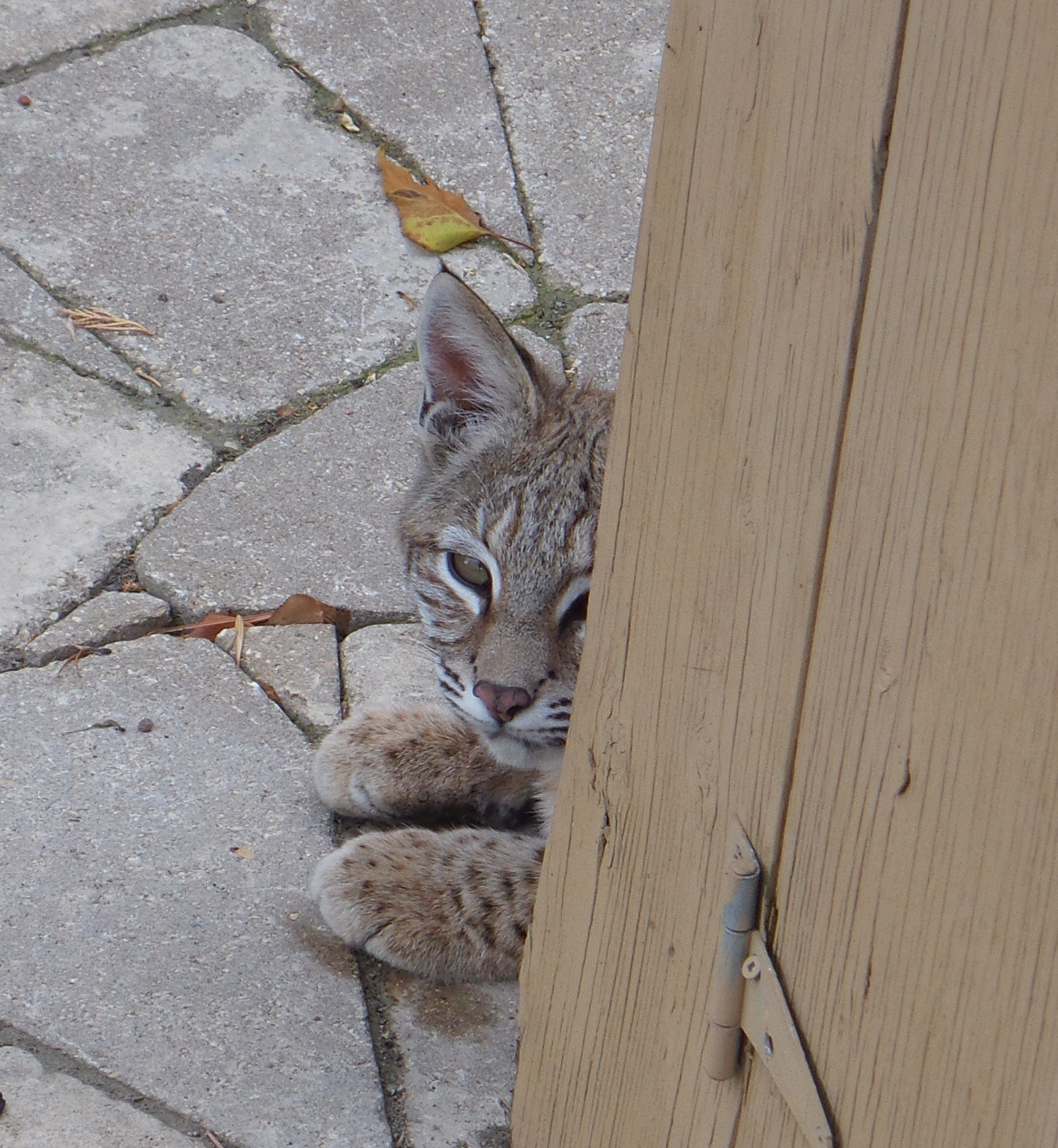 This little bobcat has been stalking squirrels and jack rabbits in a city park in Calgary.