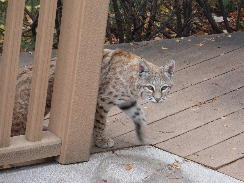 Here Bobcat Marley poses for the camera before going to the next yard on his squirrel hunt.