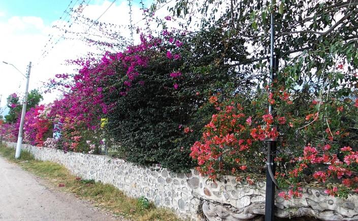 ajijic, chapala, mexico flowers