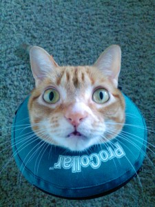 Marmalade in blow-up collar photo credit coleandmarmalade website