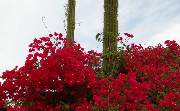bougainvillea and cactuses